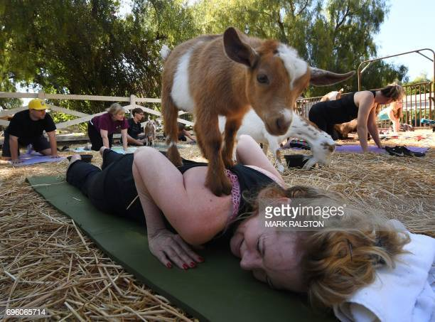 This photo taken on on June 4 2017 shows Adonna Ebrahimi struggling to maintain her concentration as a baby goat balances on her back during a Goat...