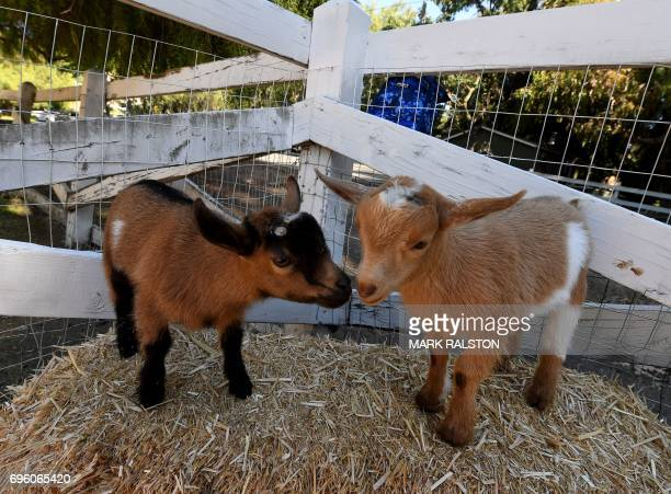 This photo taken on on June 4 2017 shows baby goats resting during a Goat Yoga class organized by Lavenderwood Farm in Thousand Oaks California...