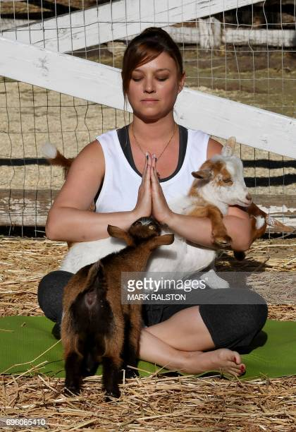 This photo taken on on June 4 2017 shows Stephanie Allis struggling to maintain her concentration as a baby goat gets close during a Goat Yoga class...