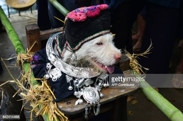 This photo taken on September 2 2017 shows a dog being dressed up in human clothing during dog carrying day a traditional local festival in Jianhe in...
