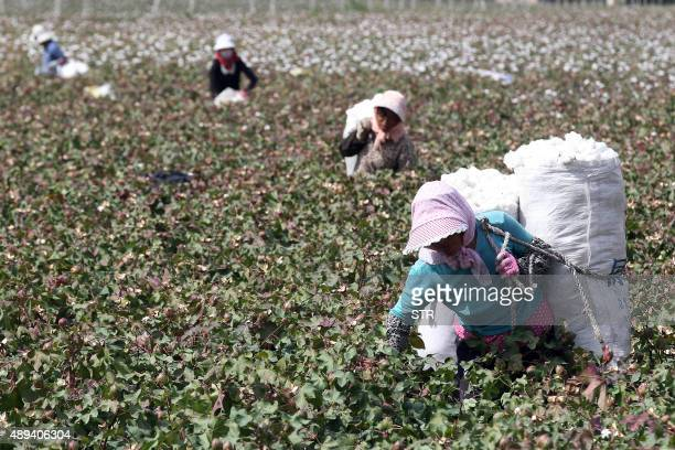 This photo taken on September 20, 2015 shows Chinese farmers picking cotton in the fields during the harvest season in Hami, in northwest China's...