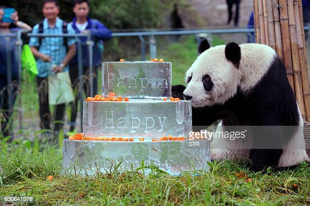 This photo taken on September 21 2015 shows giant panda Pan Pan sniffing a birthday cake made of ice for his 30th birthday at the China Conservation...