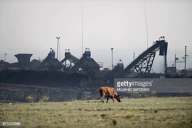 This photo taken on September 28, 2016 on the outskirts of Witbank shows a cow grazing in front of the Mooifontein Colliery coal supplier. The...