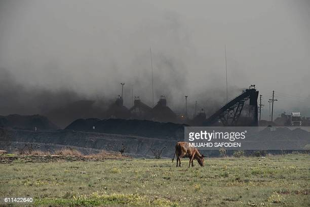 TOPSHOT This photo taken on September 28 2016 on the outskirts of Witbank shows a cow grazing in front of the Mooifontein Colliery coal supplier The...