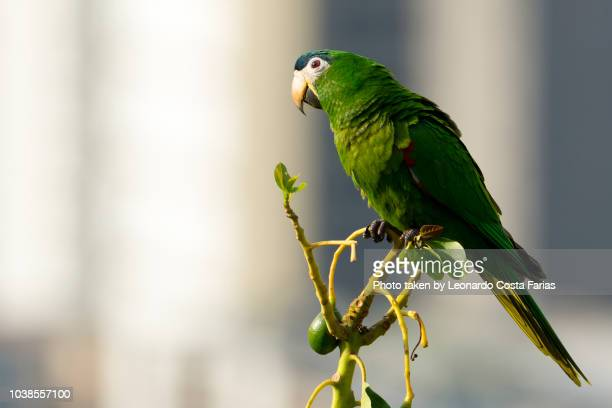 Rio de Janeiro, Brazil - October 26, 2017: This photo was taken at Santa Teresa neighborhood and captured a green Lovebird with reddish and bluenish details, into the wild. At Brazil, the Lovebirds are also known as Agapornis.