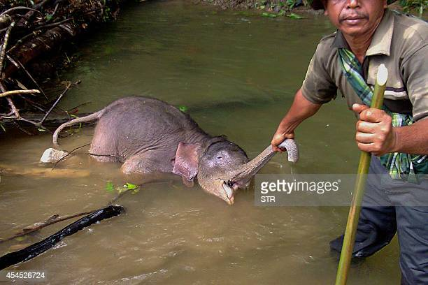 This photograph taken by a villager on August 21 shows a man holding the snout of a dead baby Sumatran elephant found in a river in Serbajadi in East...