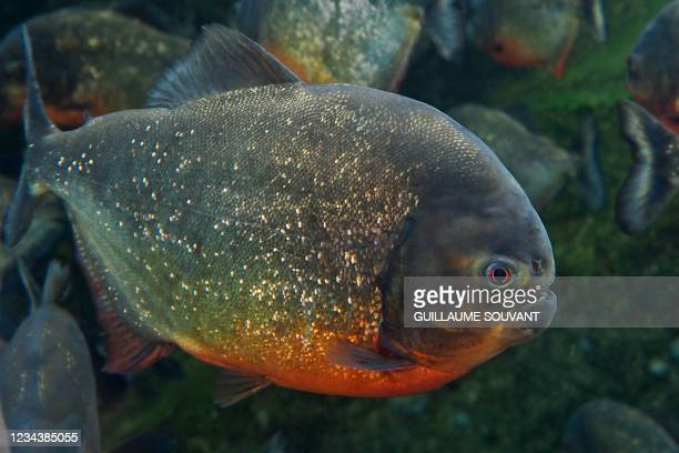 This photograph taken on August 1, 2021 shows a piranha at the Beauval Zoo in Saint-Aignan-sur-Cher, Central France.
