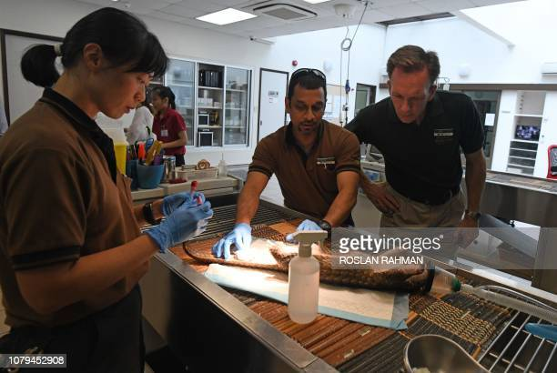 This photograph taken on December 14, 2018 shows Michael Barclay , group CEO of Mandai Park Holdings, observing as veterinary staff examine a sunda...