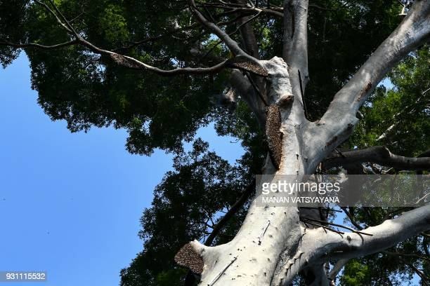 This photograph taken on February 11 2018 shows beenests atop a giant Tualang tree in the greater Ulu Muda forests in Sik northeast of the Malaysian...