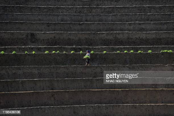 This photograph taken on January 12 2020 shows a Vietnamese farmer planting paddy crops on a terraced field in Vietnam's northern agricultural...