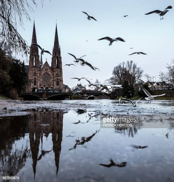 This photograph taken on January 20 2018 shows seagulls flying along the Ill river in Strasbourg eastern France during a winter day / AFP PHOTO /...