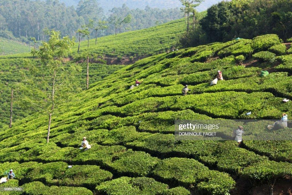 INDIA-AGRICULTURE-ECONOMY-TEA : News Photo