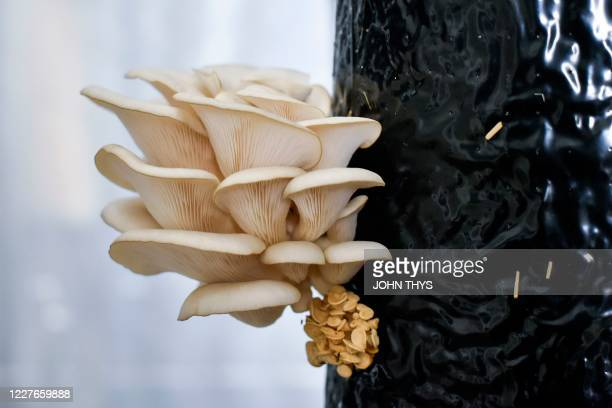 TOPSHOT This photograph taken on July 15 shows oyster mushrooms produced by the company Permafungi which recycles coffee grounds to grow organic...