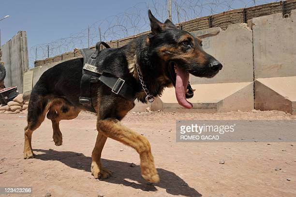 This photograph taken on July 24 2011 shows Britt a 6year old German Shepherd and handler US Army Sergeant Brian Malbrough of US Forces Afghanistan...