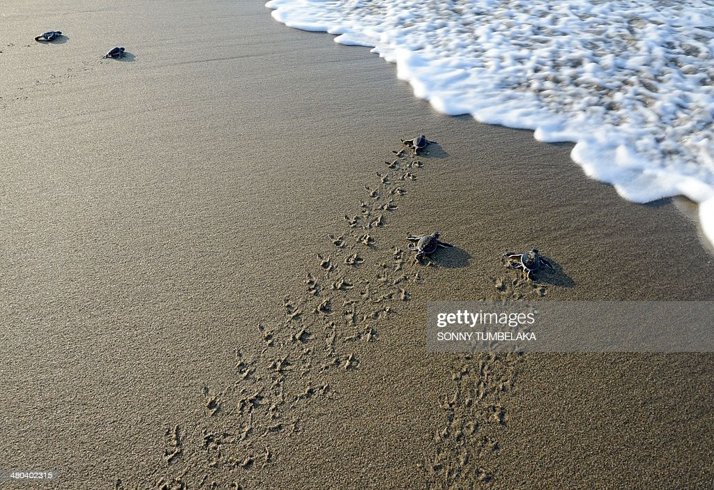 INDONESIA-ENVIRONMENT-TURTLE-CONSERVATION : Fotografía de noticias