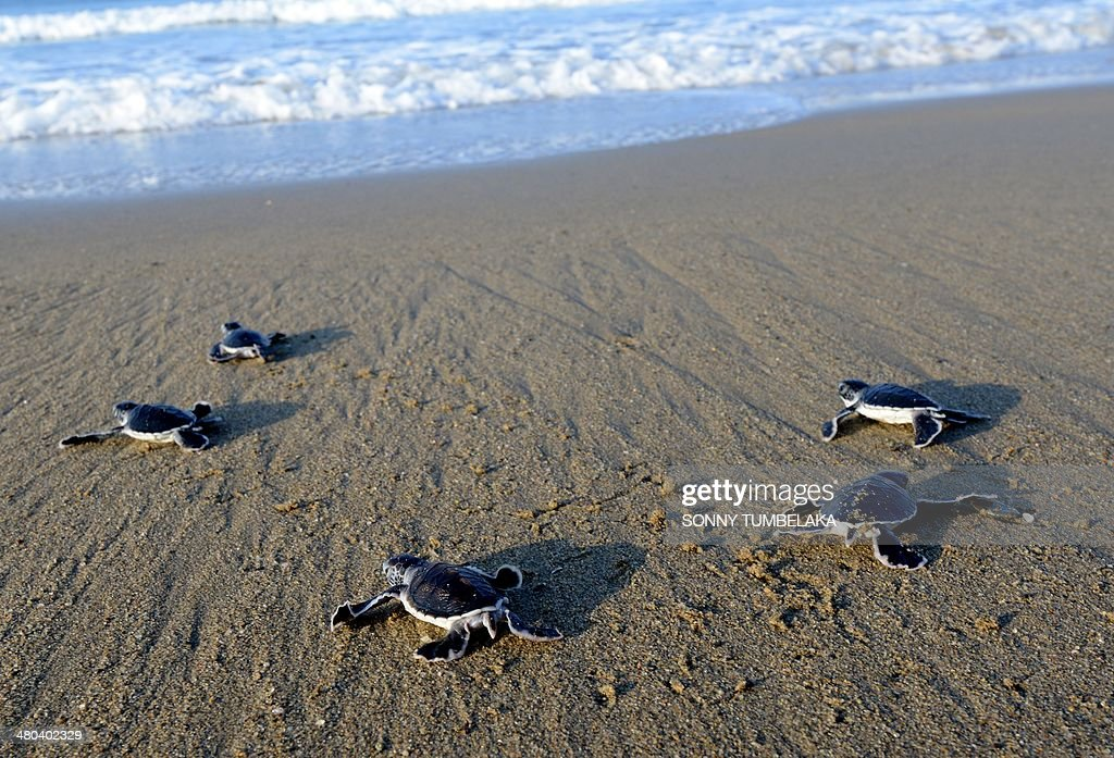 INDONESIA-ENVIRONMENT-TURTLE-CONSERVATION : Foto jornalística