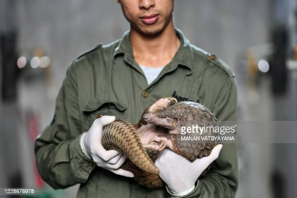 This photograph taken on September 14, 2020 shows head keeper Tran Van Truong holding a pangolin inside its enclosure at Save Vietnam's Wildlife, a...