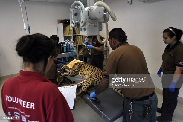 This photograph taken on September 20 2017 shows the Wildlife Reserves Singapore medical team putting Kima the cheetah on an xray machine at the...