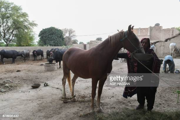 This photograph taken on September 27 2017 shows Pakistani woman Mukhtiar Naz known as Waderi Nazo Dharejo feeding a horse at her home in Qazi Ahmed...