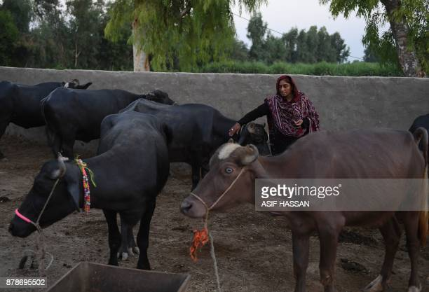 This photograph taken on September 27 2017 shows Pakistani woman Mukhtiar Naz known as Waderi Nazo Dharejo taking care of buffalos at her home in...