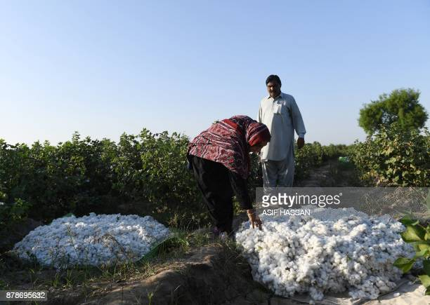 This photograph taken on September 27 shows Pakistani woman Mukhtiar Naz known as Waderi Nazo Dharejo checking cotton at her agriculture field in...
