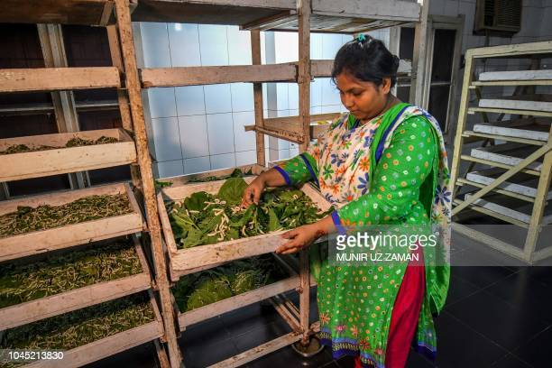 This photograph taken on September 5 2018 shows Bangladeshi worker Akhi Akter checking the silk worms at a silk factory in Rajshahi Bangladesh's silk...