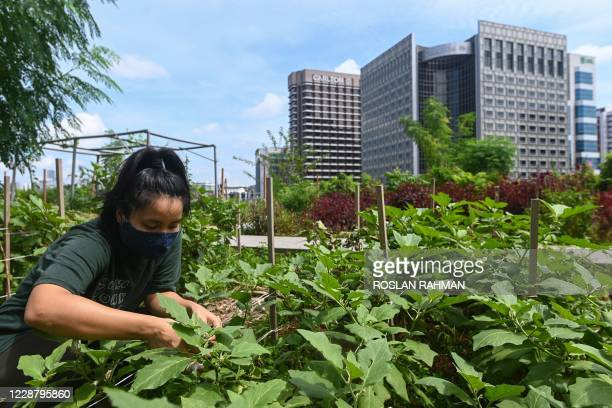 This photograph taken on September 7, 2020 shows a staff member tending to a rooftop garden used for urban farming to grow edible plants above the...