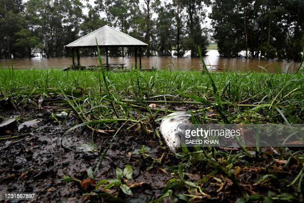 This picture shows a dead fish as floodwaters recede along the banks of the Nepean river in Penrith suburb on March 22 as Sydney braced for its worst...