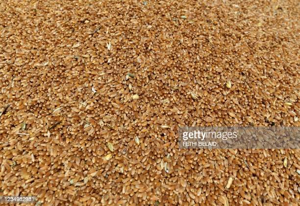 This picture shows wheat grains, freshly harvested in a field, in the agricultural region of Jedaida, some 30 kilometres northwest of the capital...