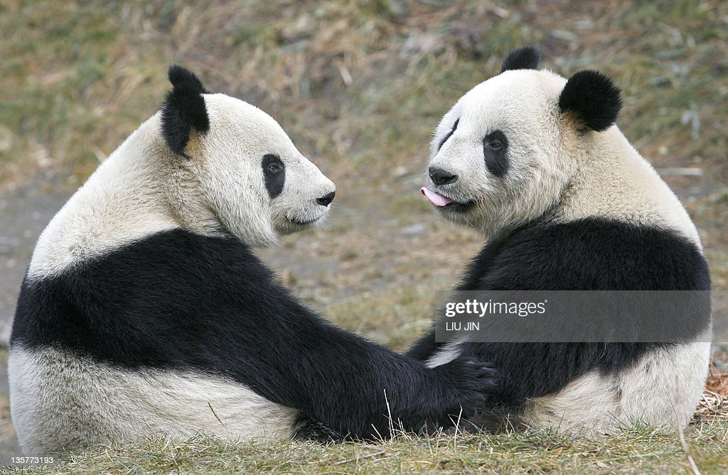 This picture taken 09 February 2007 shows two pandas sitting together at the China Conservation and Research Centre for the Giant Panda in Wolong, in China's southwestern province of Sichuan. A panda rescue centre in China is appealing for ideas on how to create an artificial paw for an injured wild female, state media reported 08 March. AFP PHOTO/LIU Jin