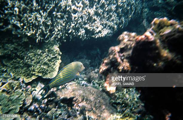 This picture taken 19 October 2007 shows a fish roaming around dead and live corals under the sea near Anak Krakatau literally Child of Krakatau...