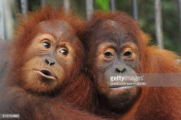 This picture taken in Jantho Aceh province on February 15 2016 shows two orangutans staying inside a cage before being released into Jantho...