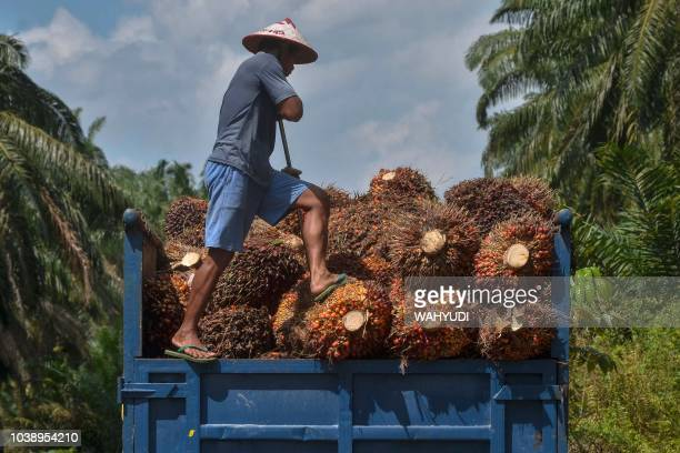 TOPSHOT This picture taken in Kampar on August 18 2018 shows a palm oil farmer loading palm oil seeds onto a truck in Kampar Riau province Indonesian...