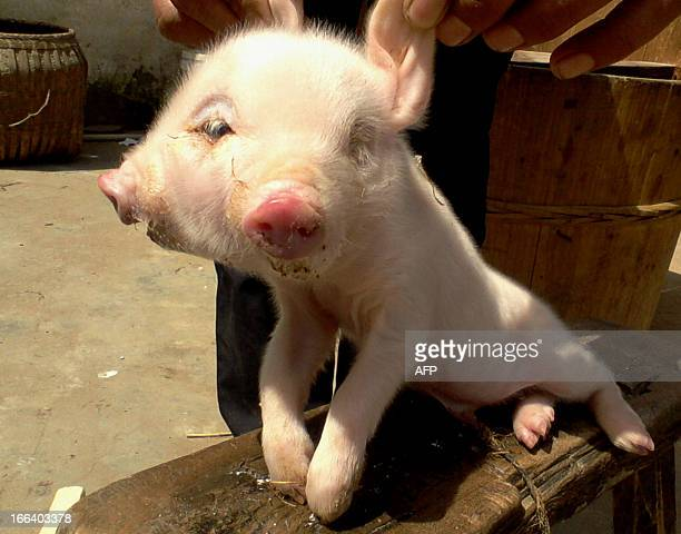 This picture taken on April 10 2013 shows a newly born twoheaded pig in a village in Jiujiang east China's Jiangxi province A local veterinarian said...