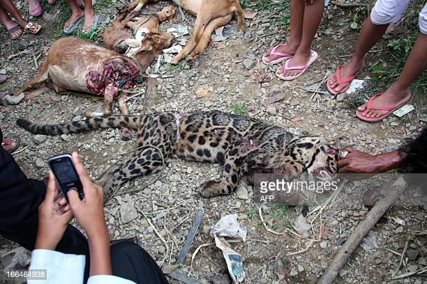 This picture taken on April 12 2013 shows villagers surrounding a dead clouded leopard in the village of Timbalun near Padang West Sumatra province...