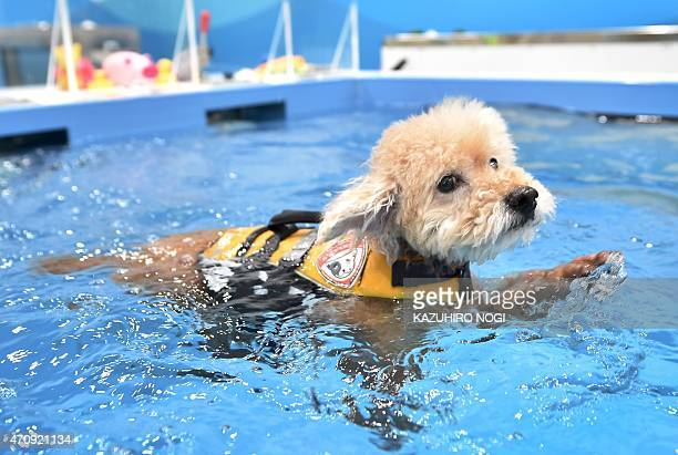 This picture taken on April 17 2015 shows a dog swimming in a pool of the Japanese pet company Aeon Pet Pecos Aeon Pet a subsidiary of the Aeon...