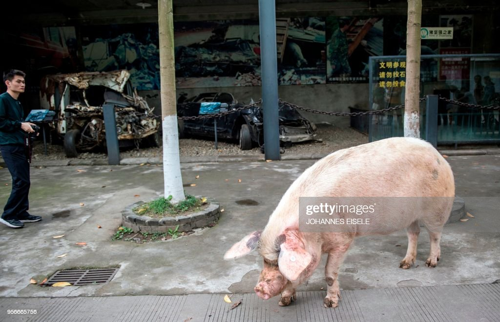This picture taken on April 25, 2018 shows a pig known as 'Zhu Jianqiang', who became a national icon after it survived the devastating earthquake 10 years ago, walking near a plainclothes policeman (L) next to its enclosure at a museum in Anren, Sichuan province. - The pig, known as 'Zhu Jianqiang' which means 'Strong Pig', shot to fame after he was discovered alive beneath rubble, 36 days after the 7.9-magnitude earthquake struck Sichuan province on May 12, 2008. (Photo by Johannes EISELE / AFP) / TO GO WITH China-quake-pig,FOCUS by Ben Dooley