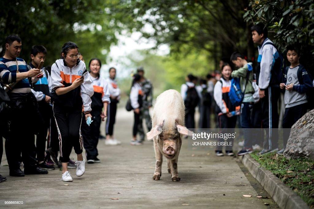 CHINA-QUAKE-PIG : News Photo