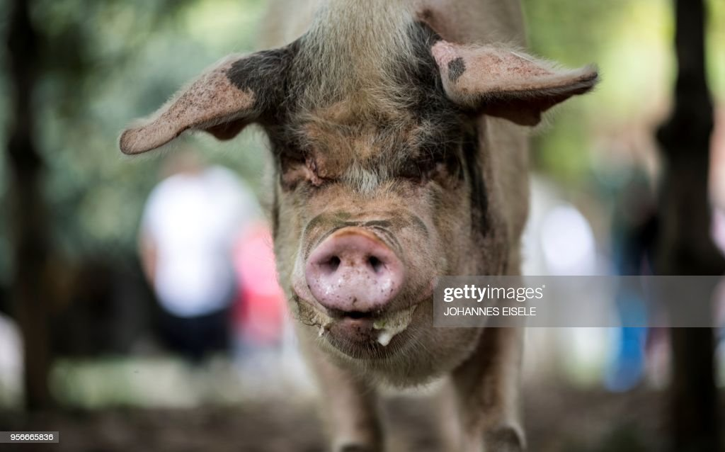 This picture taken on April 25, 2018 shows a pig known as 'Zhu Jianqiang', who became a national icon after it survived the devastating earthquake 10 years ago, walking next to schoolchildren at a museum in Anren, Sichuan province. - The pig, known as 'Zhu Jianqiang' which means 'Strong Pig', shot to fame after he was discovered alive beneath rubble, 36 days after the 7.9-magnitude earthquake struck Sichuan province on May 12, 2008. (Photo by Johannes EISELE / AFP) / TO GO WITH China-quake-pig,FOCUS by Ben Dooley