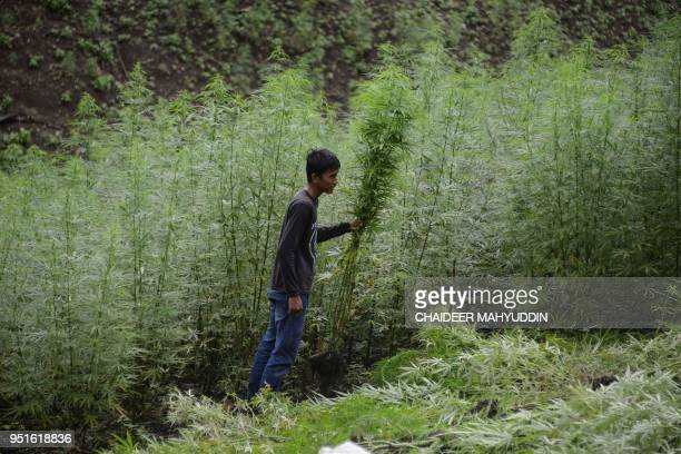 This picture taken on April 26 2018 shows an Indonesian man destroying marijuana plants during a police raid on a marijuana plantation in Indrapuri...