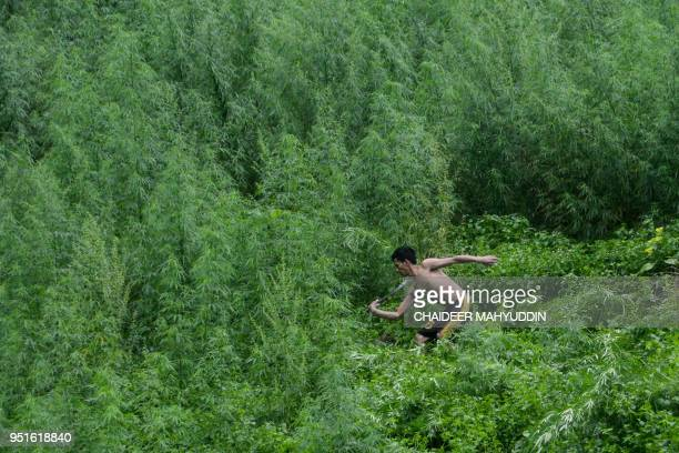 This picture taken on April 26 2018 shows an Indonesian worker destroying marijuana plants during a police raid on a marijuana plantation in...