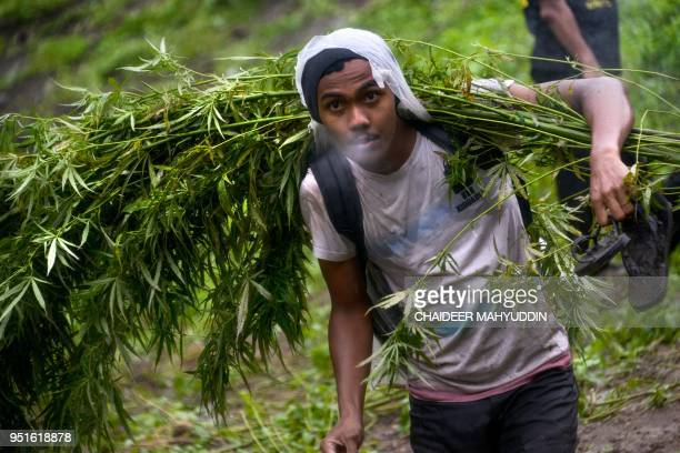 TOPSHOT This picture taken on April 26 2018 shows an Indonesian worker carrying marijuana plants as the police raid a marijuana plantation in...