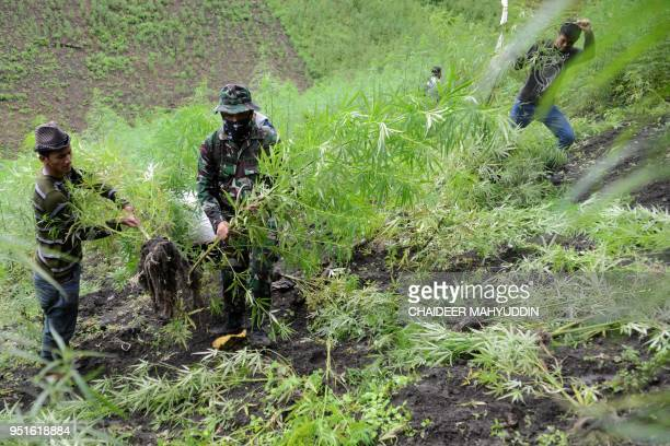 This picture taken on April 26 2018 shows Indonesian police destroying marijuana plants during a raid on a marijuana plantation in Indrapuri Aceh...