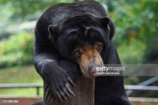 This picture taken on April 29, 2020 shows a bear sitting inside its enclosure at the zoo in Bandung, West Java. - Indonesian officials said on April...