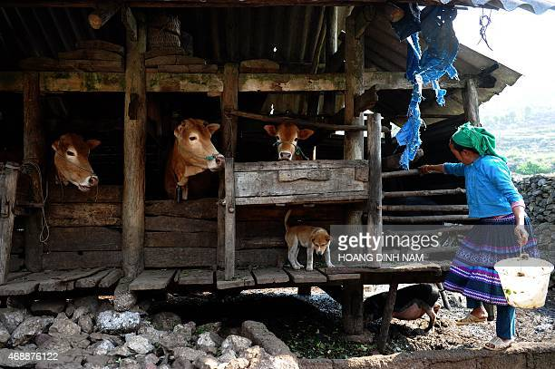 This picture taken on April 3 2015 shows a H'mong woman feeding cows and other family animals at her home in Meo Vac district in the northern...