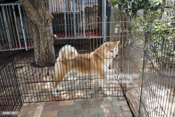 This picture taken on April 3 2018 shows Akane an Akita dog in her kennel at a breeding centre in Takasaki Gunma prefecture Hollywood actor Richard...
