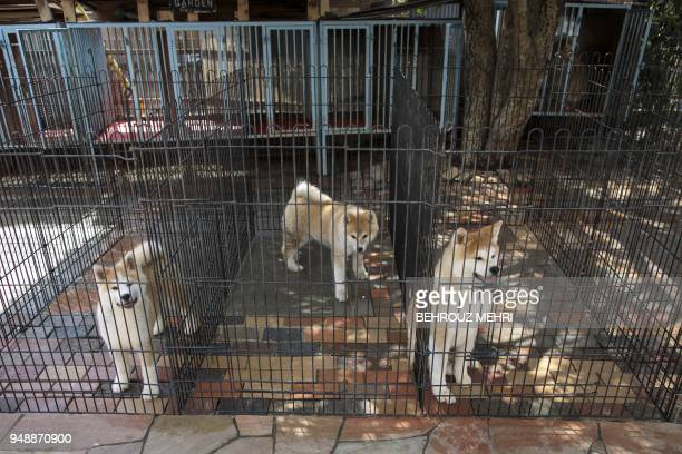 This picture taken on April 3 2018 shows Akita dogs in their kennel at a breeding centre in Takasaki Gunma prefecture Hollywood actor Richard Gere...
