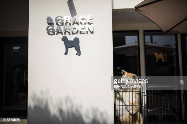 This picture taken on April 3 2018 shows an Akita dog in a kennel at a breeding centre in Takasaki Gunma prefecture Hollywood actor Richard Gere...