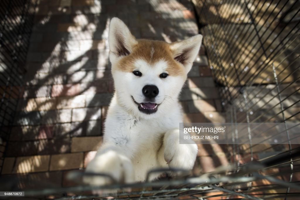 This picture taken on April 3, 2018 shows an Akita dog in a kennel at a breeding centre in Takasaki, Gunma prefecture. - Hollywood actor Richard Gere, French film star Alain Delon and Russia's figure skating sensation Alina Zagitova have one thing in common: They adore Japan's Akita dogs. (Photo by Behrouz MEHRI / AFP) / TO GO WITH AFP STORY 'JAPAN-ANIMAL-DOGS-AKITA' BY