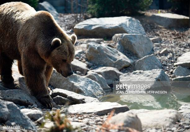 """This picture taken on April 7 shows a brown bear in the new enclosure """"La forêt des ours"""" at the Amneville Zoo in Amneville, eastern France. / AFP..."""